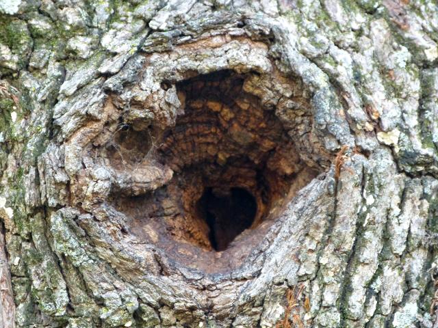 Hollow-oak-on-7-25