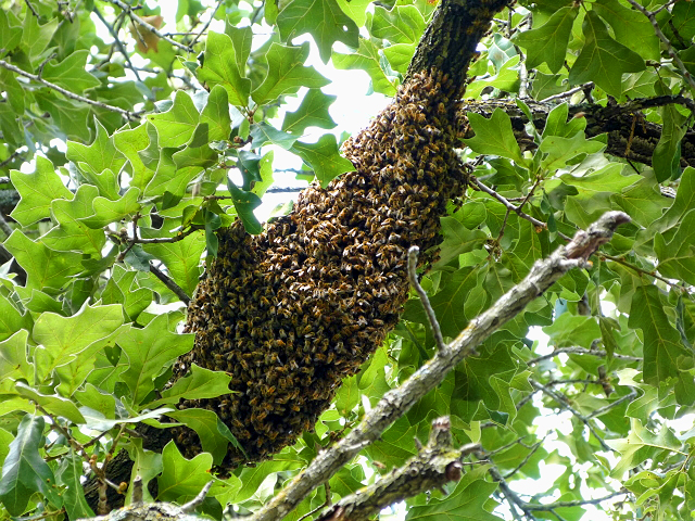 Lorieann-bee-swarm-on-limb-6-12-16