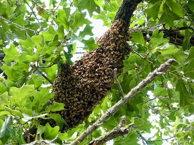 Lorieann-bee-swarm-on-limb-6-12-16