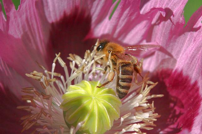 Honey-bee-in-poppy-2016