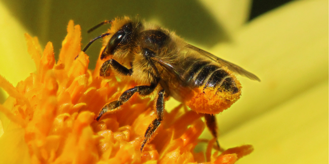 Leafcutting Bee On Dahlia