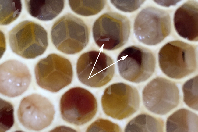eggs-on-pollen-in-a-laying-worker-hive