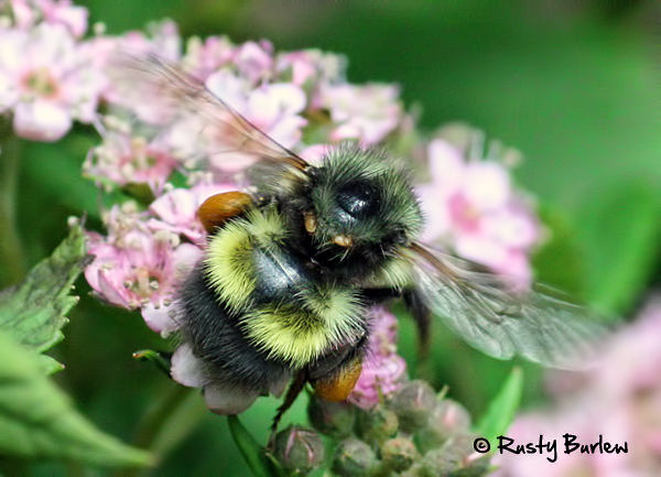 Mites-on-a-bumble