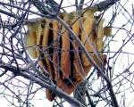 A free-hanging honey bee nest in Minnesota