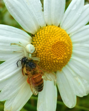 """Tracy Klein says this bee had """"a tragic end at the daisy patch."""" I agree, but the spider looks happy."""