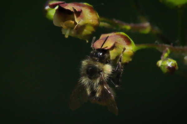 Bumble bee on figwort flower.