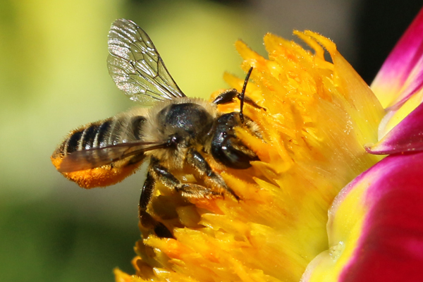 The furry leafcutting bee is a frequent September garden visitor.