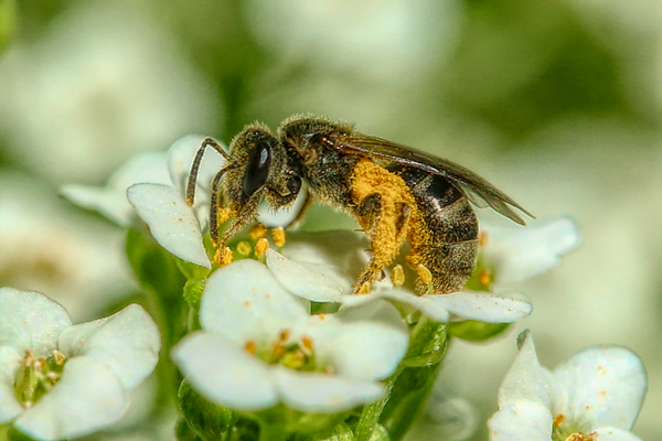 A lasioglossum bee in September