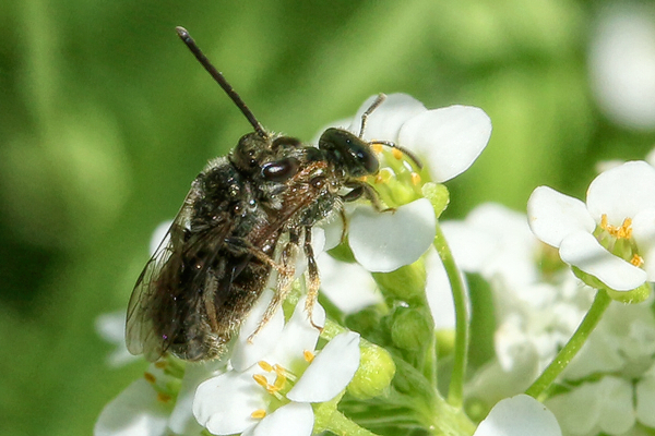 A mating pair of Lasioglossum bees.