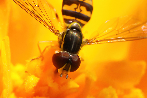 Fly antennae: Many flies mimic bees in their coloring. If you're unsure whether you are seeing a bee or a fly, check the antennae. Flies have short and stubby antennae, whereas bee antennae are long.