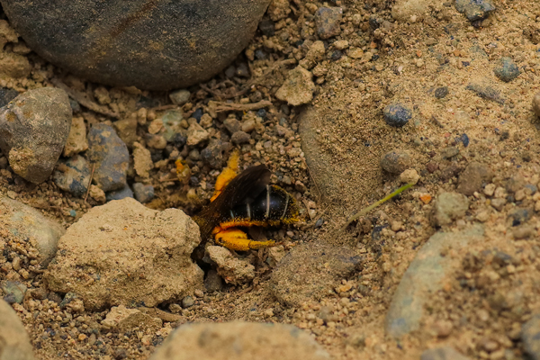 This bee had to reopen the hole when she got back from foraging. For some reason, the entrance had caved in.