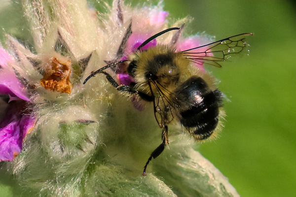 A bee in distress. This bee's wings are tattered and the abdomen is shiny and nearly hairless. Both may be signs of an old bee.