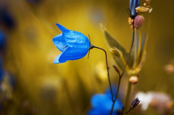 Seed catalogs: bell-shaped flowers attract a wide variety of bees.