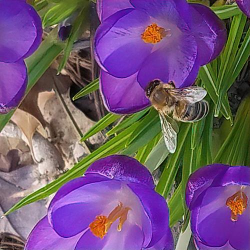 Lynn Anderson sent this photo a honey bee in her purple crocus. © Lynn Anderson.