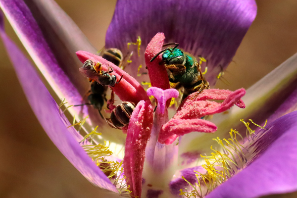 The native mariposa lilies are quite popular with the native bees. Larry counted up to nine bees in one flower.