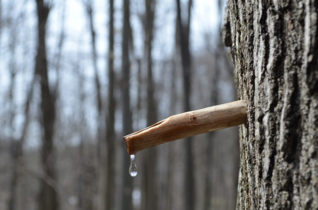 Native Americans used wooden spiles to tap their trees.