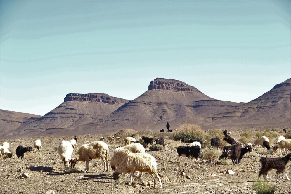 Pastore marocchino e le sue pecore sulla strada verso il deserto