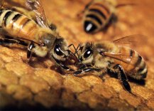 Honey exchange between worker bees