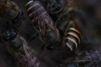 Cluster of Apis cerana bees