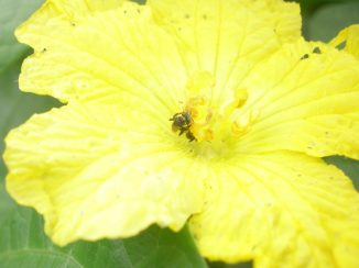 Dammer bee