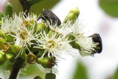 Beetle pollination