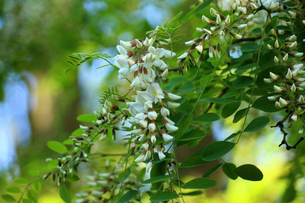 Honey the Brave - Pianta e Fiore di Acacia Robinia