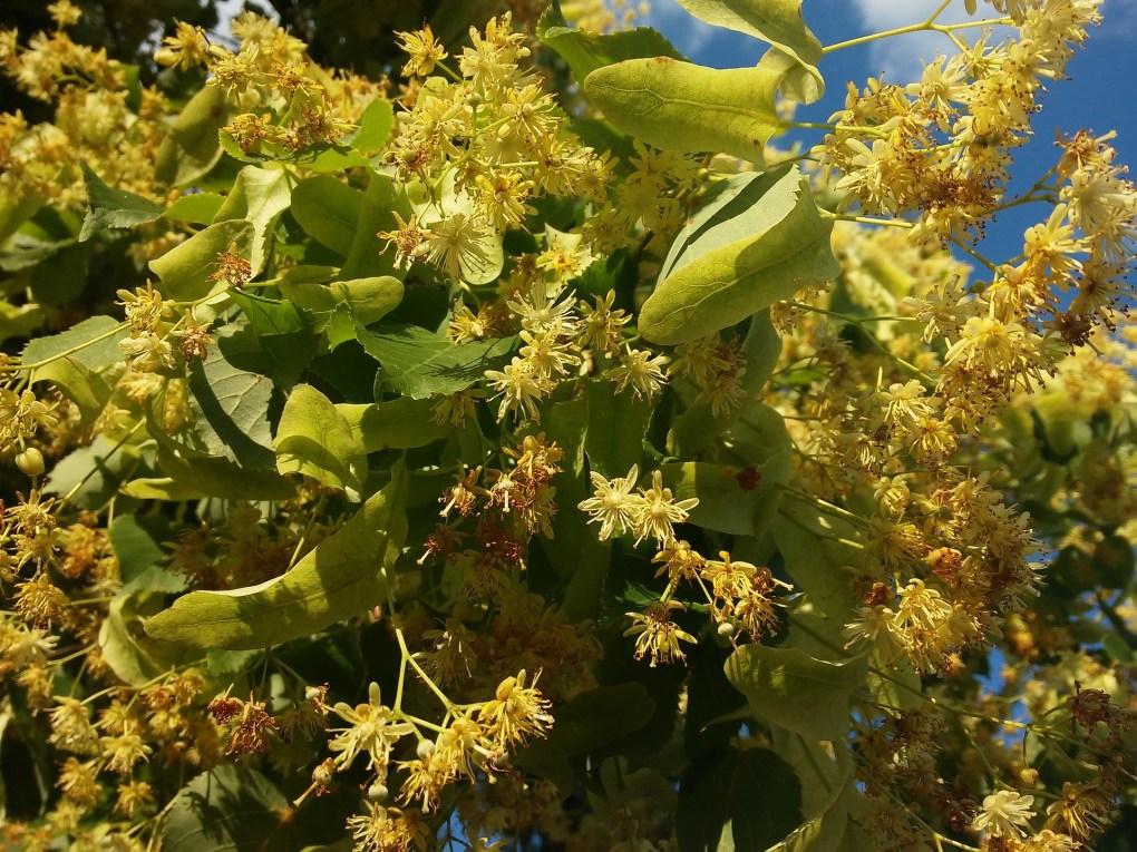 Honey the Brave - Pianta e Fiore di Tiglio