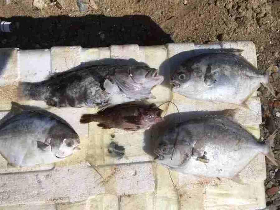 dead fish palm oil spill