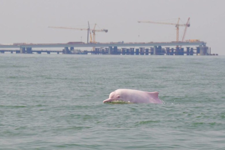 Chinese white dolphin Hong Kong-Zhuhai-Macao Bridge