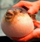 FUGU poisson de la mort