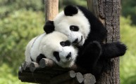 cartoon-love-cute-panda-free-238401