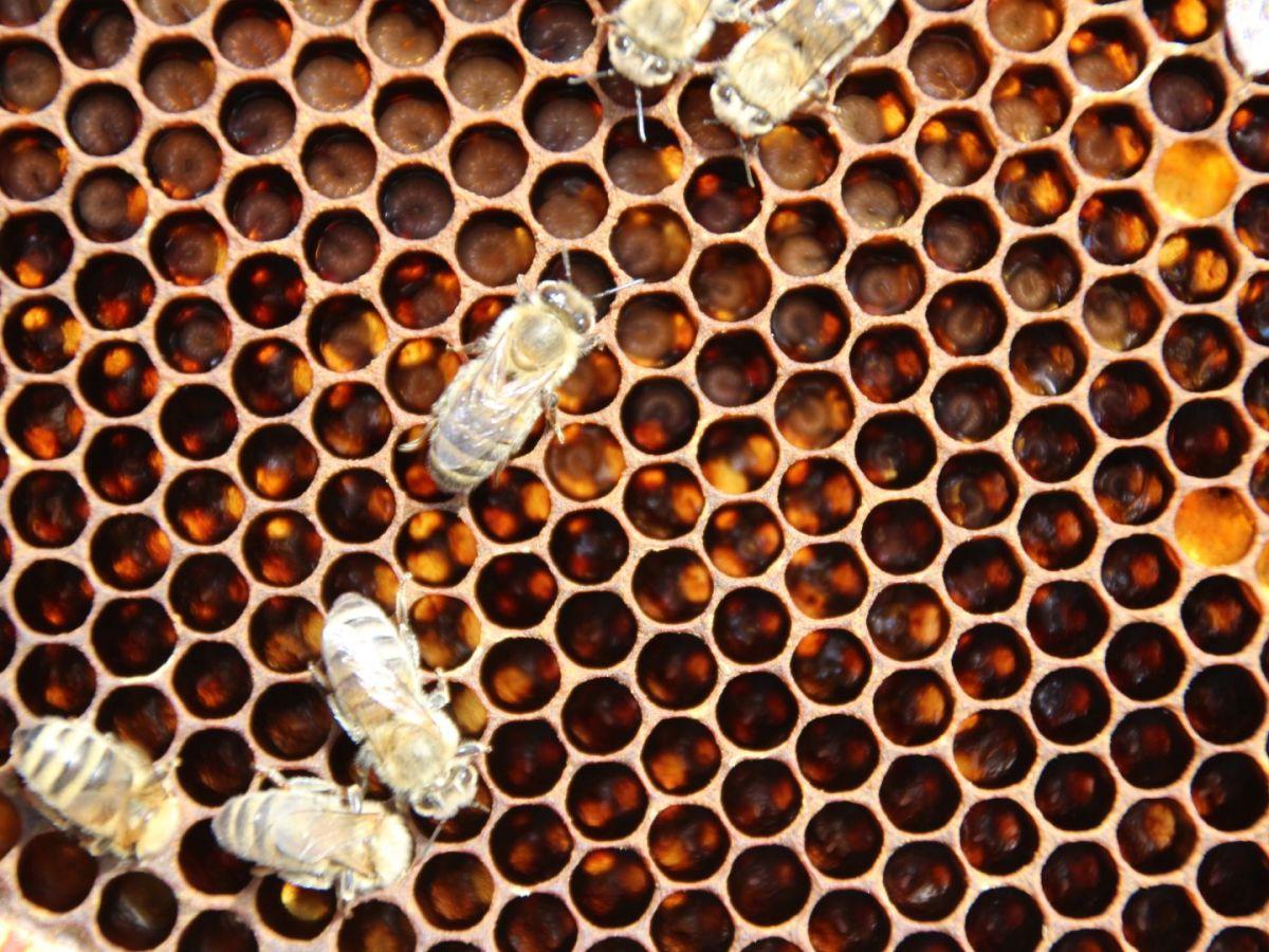 Pollen – Eiweißriegel der Biene