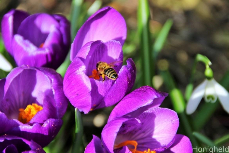 Blütentreue Biene auf Krokus