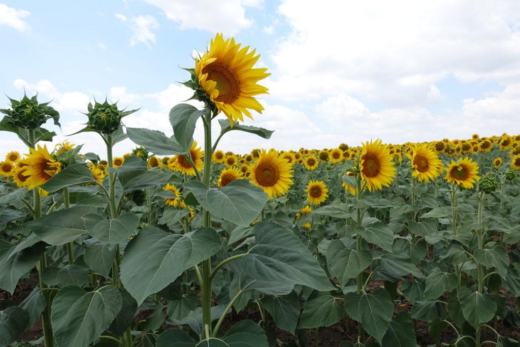 Sonnenblumenfeld in Rumänien