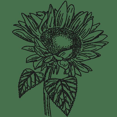 Sonnenblumenhonig, Sonnenblume