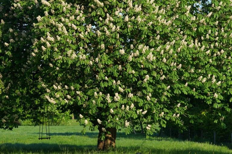 Kastanienbaum zur Honiggewinnung