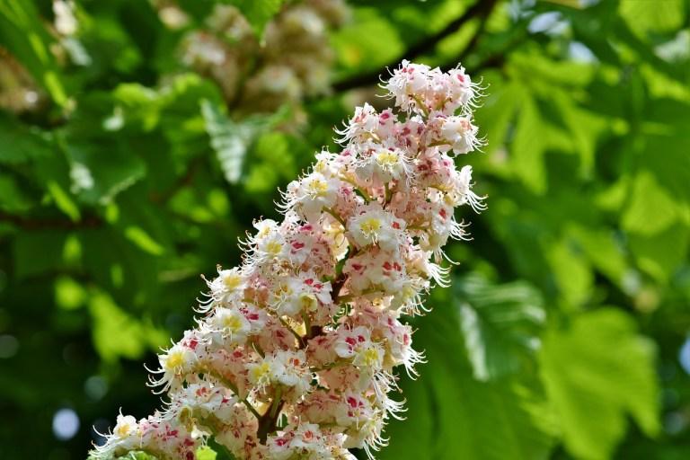 Kastanienhonig aus der Kastanienblüte