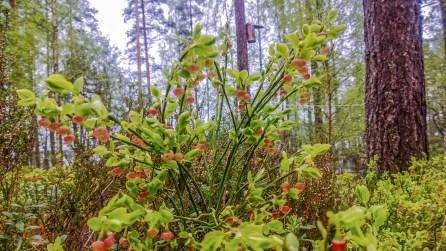 Mustikka kukkii, Nokia Lumia 920