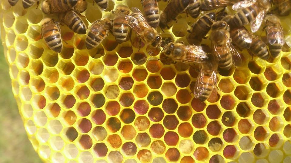 Pollentavle fra Honningpigen