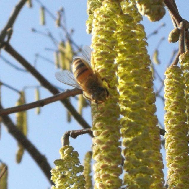Buckfast bier på hasselblomst
