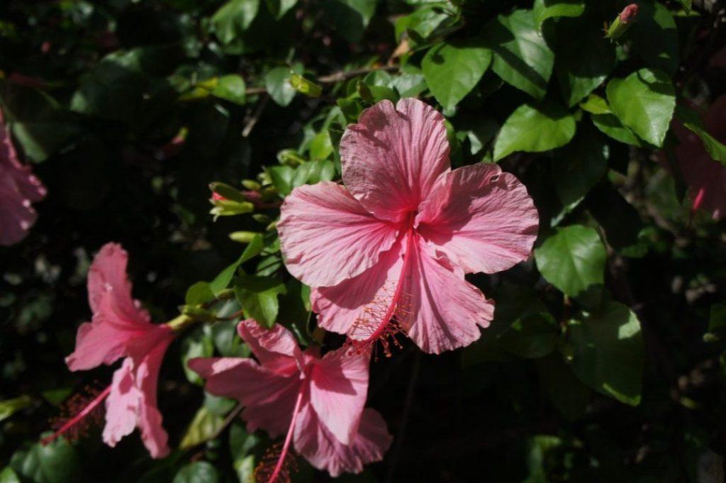 Hibiscus at Honolulu Myohoji