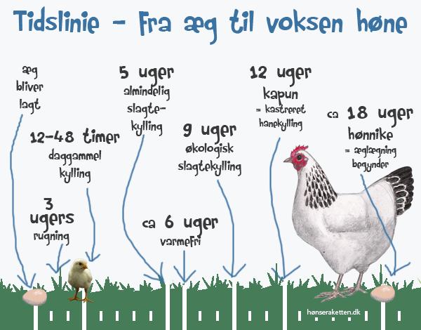 hvor gammel bliver en høne