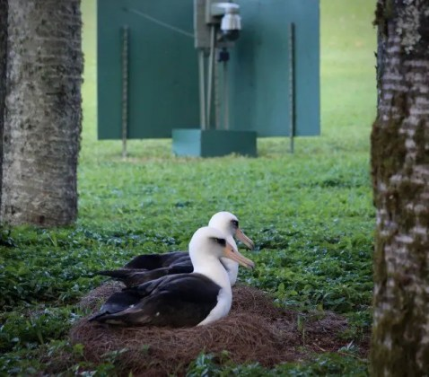 Naturism And Naturalist Locations on Kauai   Watch the Laysan     Cornel Lab 2018   Laysan Albatross
