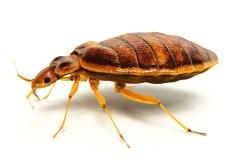 big bed bugs