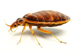bed-bugs