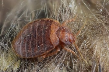 bed bug in human boby