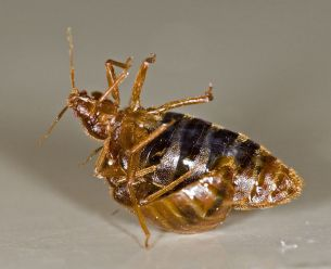 bed-bug-are