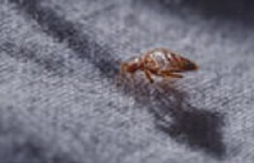 bedbug bites treatment