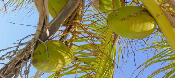 kokosnoten in palm boom panama