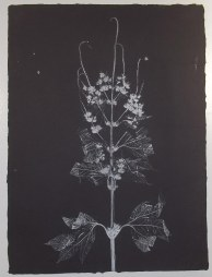 giant ragweed #6